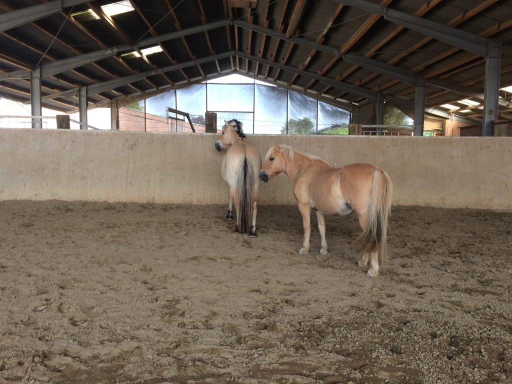 Zwei Ponys in der Reithalle.