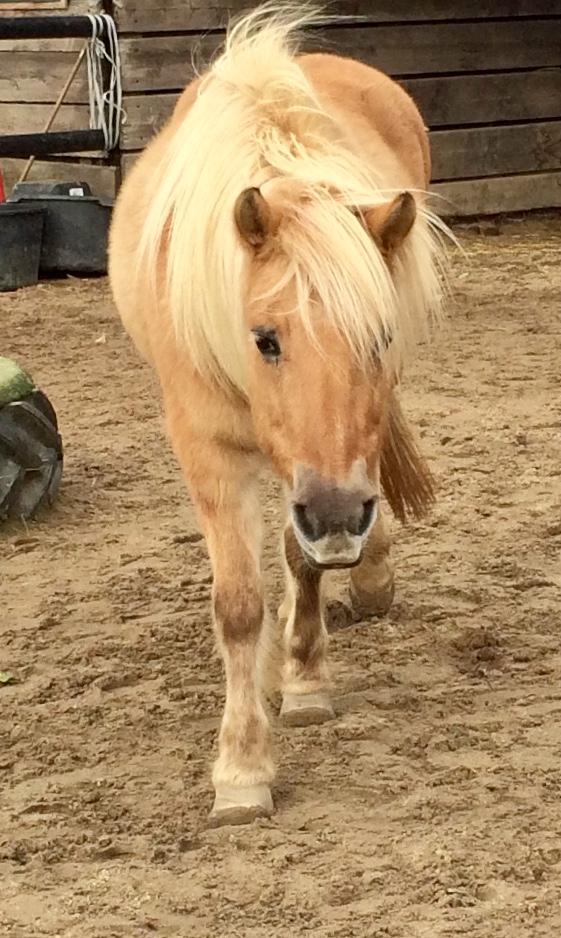 Ein Pony von vorne.