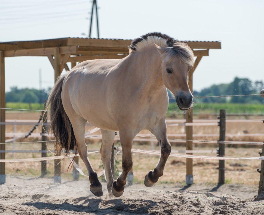 Ein Pony gallopiert über die Koppel.
